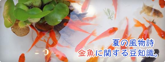夏の風物詩 金魚に関する豆知識。